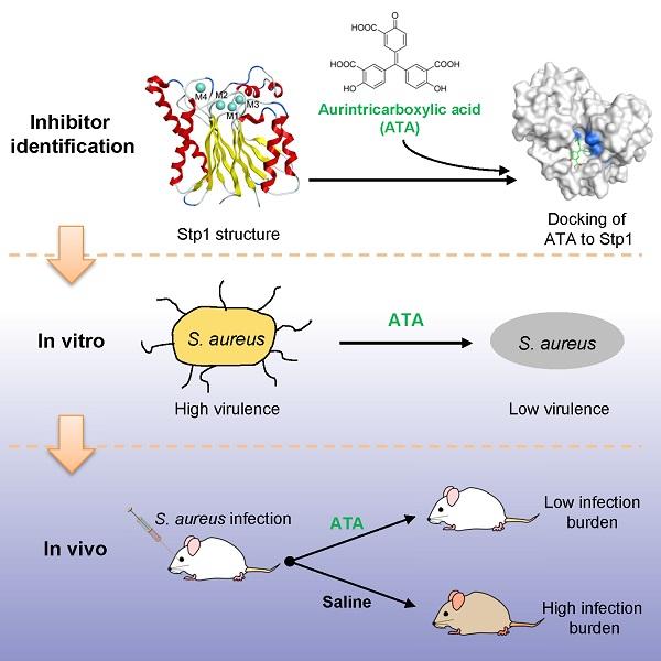 李子刚课题组在抗金黄色葡萄球菌感染领域取得重要进展