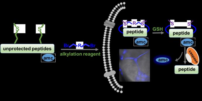 李子刚/尹丰课题组在新颖可逆稳定多肽构建方法学及其生物应用领域取得重要研究进展
