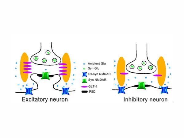 周强课题组在神经突触传递领域取得重要研究进展