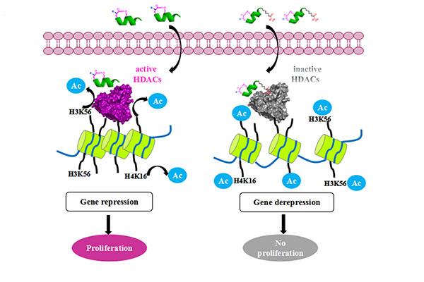 李子刚/尹丰课题组利用稳定多肽在表观遗传学抑制剂领域取得新进展