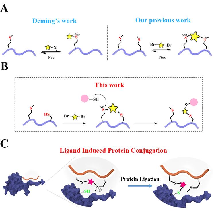 化生学院李子刚/尹丰课题组利用硫盐稳定多肽在蛋白半胱氨酸的选择性共价修饰领域取得新进展