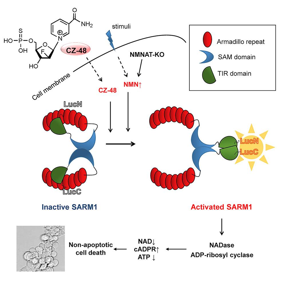 李汉璋/赵永娟课题组在轴突变性相关蛋白SARM1的激活机制方面取得重要进展