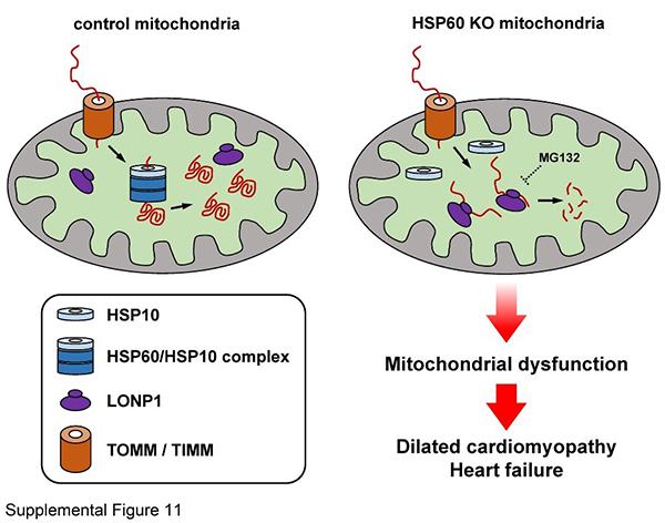 热休克蛋白60通过调控线粒体蛋白质稳态平衡来影响心脏生理功能