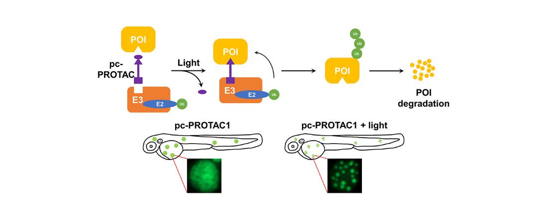 利用光控制PROTAC活性诱导靶蛋白的降解