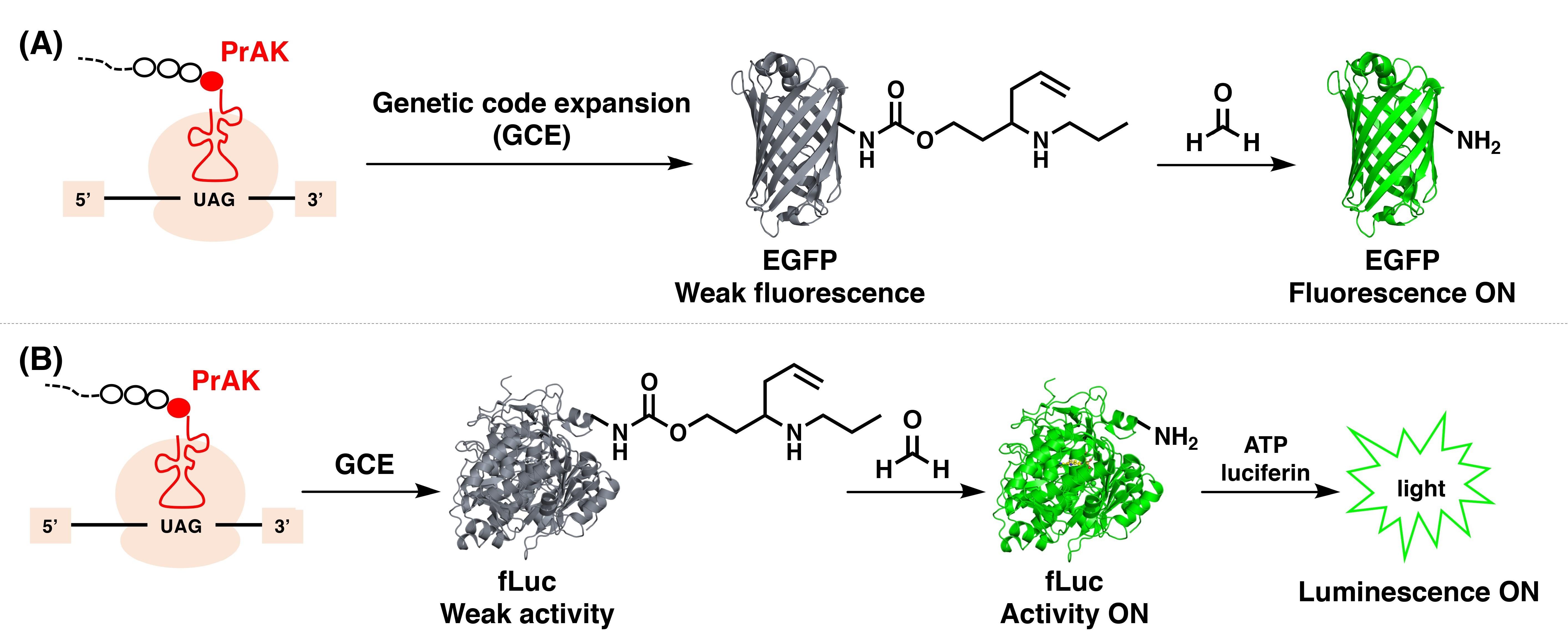 化生学院彭涛课题组开发新型基因编码的甲醛荧光探针和生物发光探针